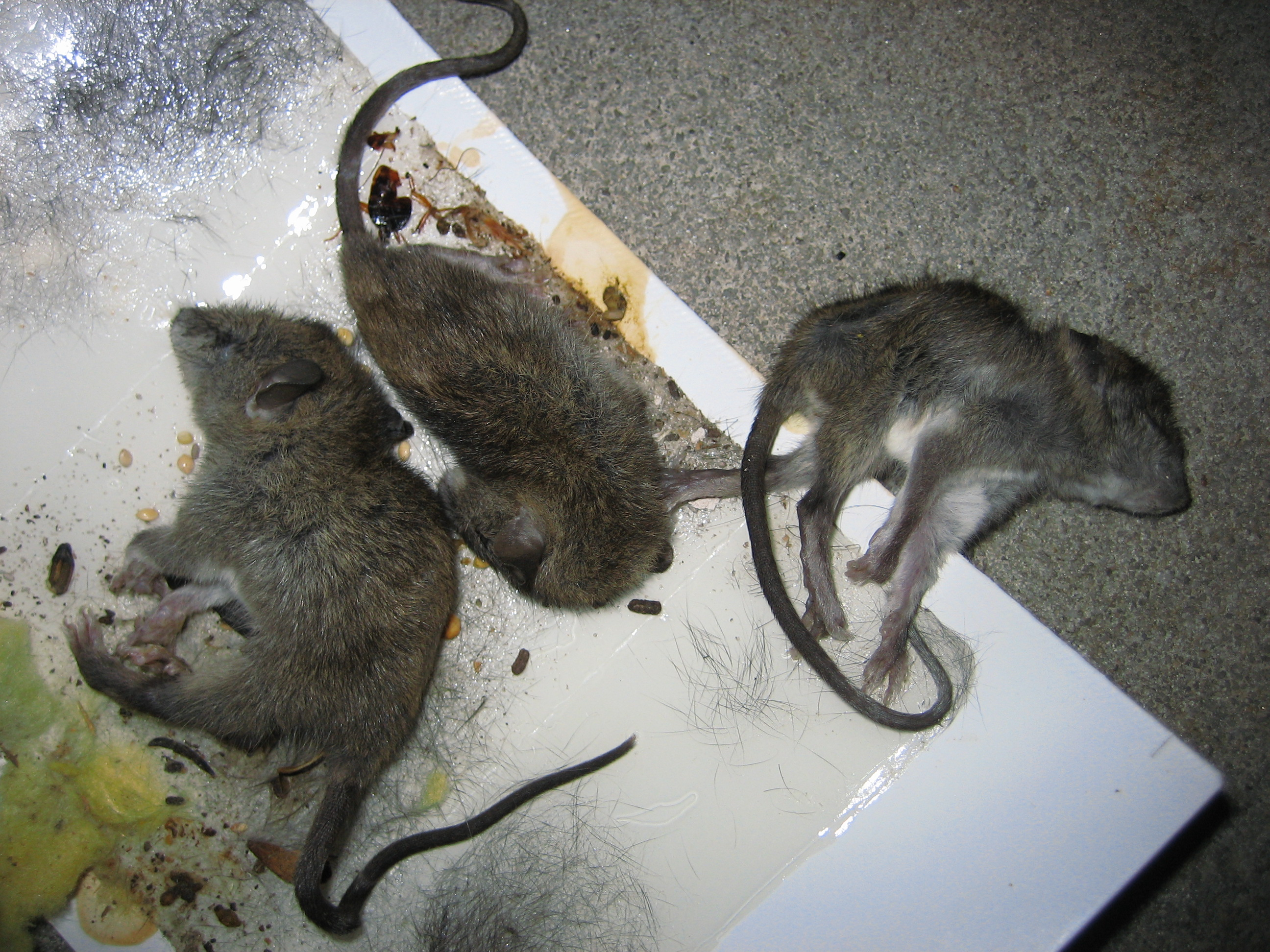 Three Dead Mice Caught in Glue Trap